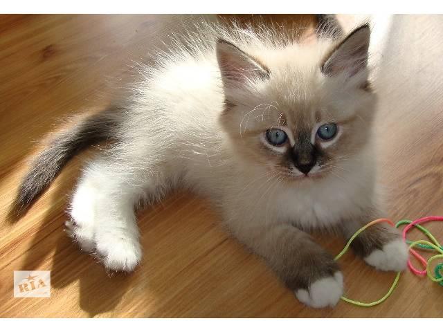 Невский маскарадный котик и сибирская кошечка