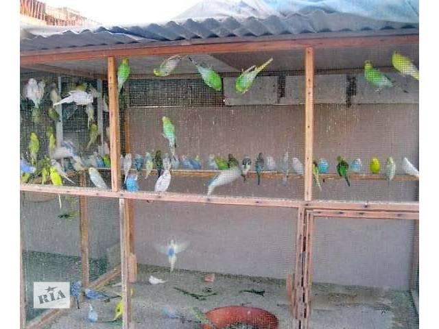 Волнистые попугайчики уход и содержание размножение