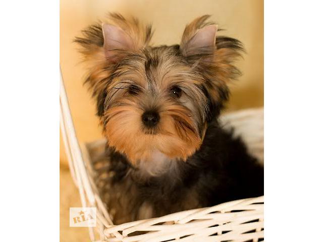 Йоркширский терьер - девочка 4 месяца - Собаки, щенки в Минске на RIA.com