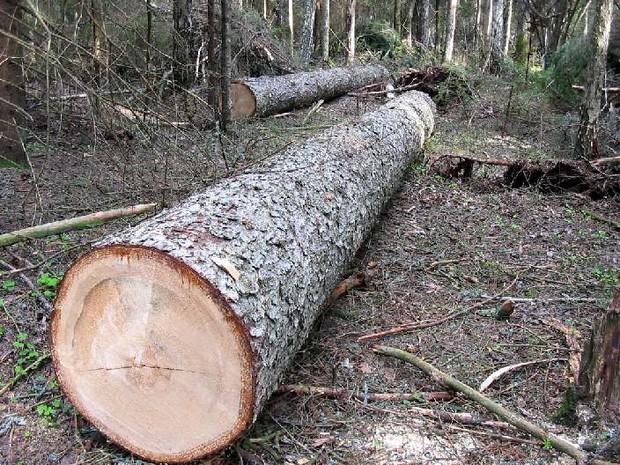 В Голосеевском районе Киева массово вырубают деревья