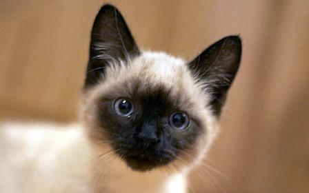 Как купить сиамскую кошку с помощью интернета
