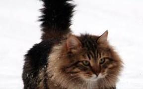 Как продать сибирскую кошку на сайте онлайн