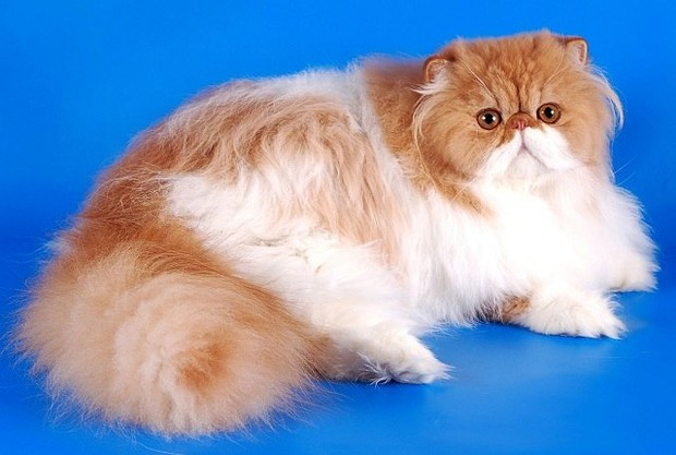 Характер, питание и уход персидской кошки