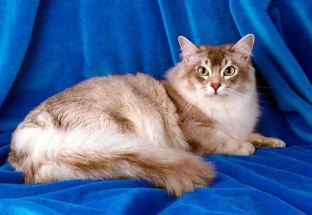 Кошка шантильи тиффани характеристики и особенности ухода