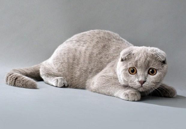 Характер, питание и уход шотландской кошки