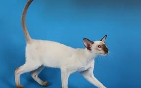Характер, питание и уход сиамской кошки