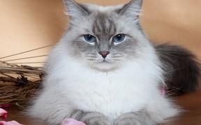 Невская маскарадная кошка: как продать по Интернету
