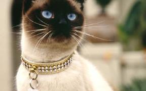 Сиамская кошка: продаем по Интернету