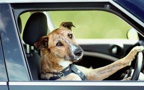 Собачья работа: Друзья человека угнали автомобиль и врезались на нем в магазин