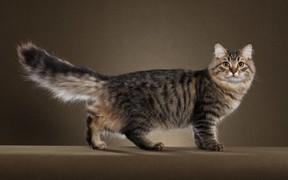 Вязка сибирской кошки