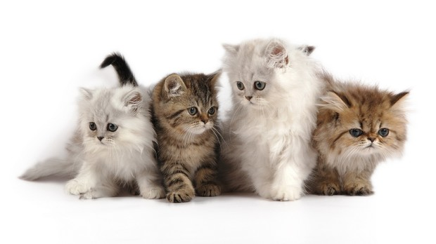 Выбираем породу кошек